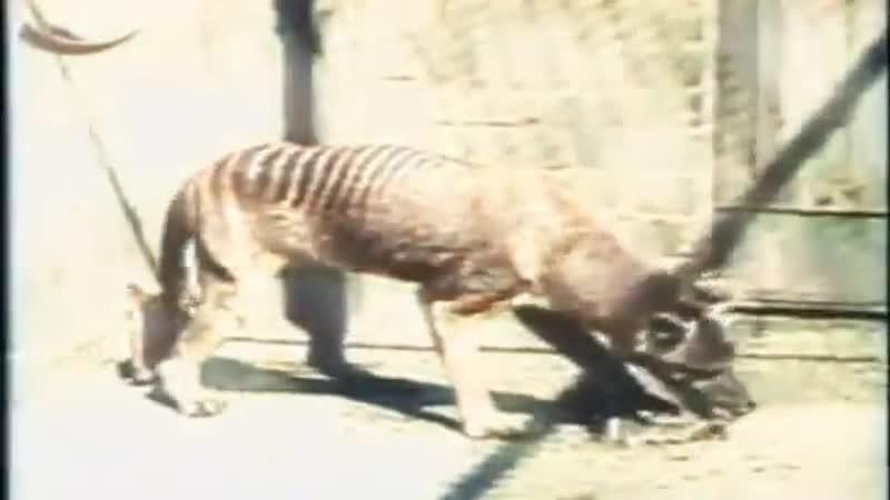 Сумчатый или тасманийский волк или тилацин вымершее сумчатое млекопитающее единственный доживший до исторической эпохи предс