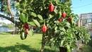 Plant Cute Stuff Red Pepper Best Mini Sweet Pepp