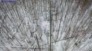 Лоси в лесу-2. Вид сверху.Усть-Лужское охотхозяйство.