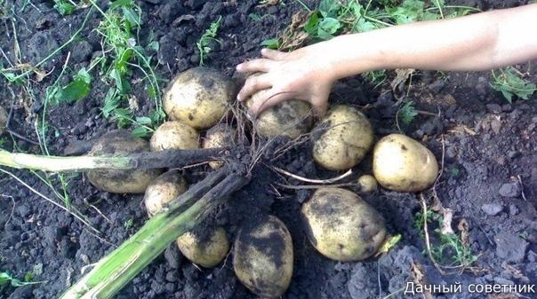 Хочу рассказать о своём опыте выращивания картошки на одном месте