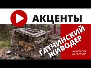 Полумертвые «охранники»: в Гатчинском районе пенсионер держит больше десятка собак без еды и воды