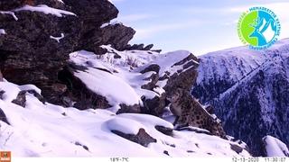 Впервые получено видео снежного барса в Катон-Карагае