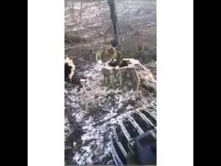Спилили дерево, в котором была берлога медведя.