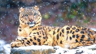 Мяукающего снежного барса засняли в Китае