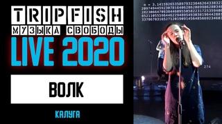 TripFish - LIVE - Волк