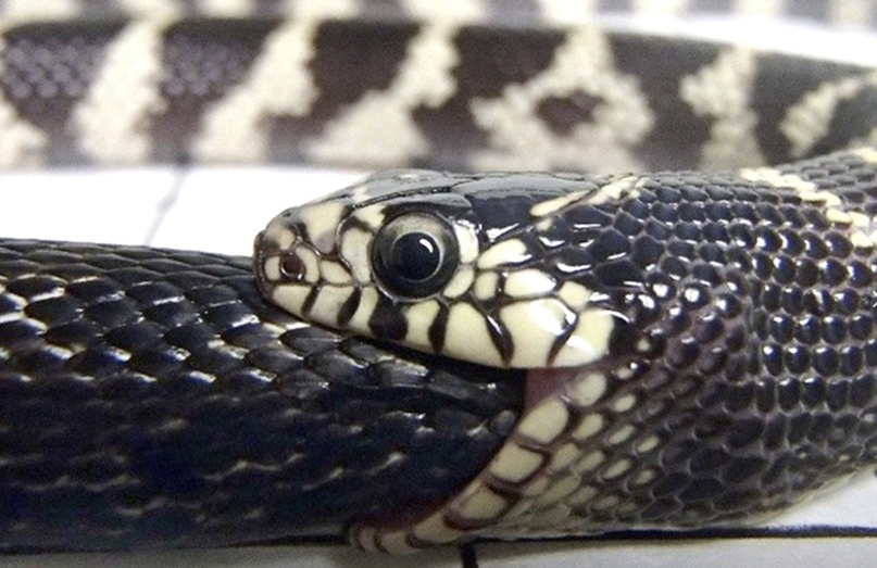 Зафиксированы случаи, когда змея вдруг жалит саму себя или заглатывает хвост и начинает поглощать