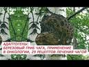 Адаптогены березовый гриб Чага, применение при онкологии, 29 рецептов лечения Чагой