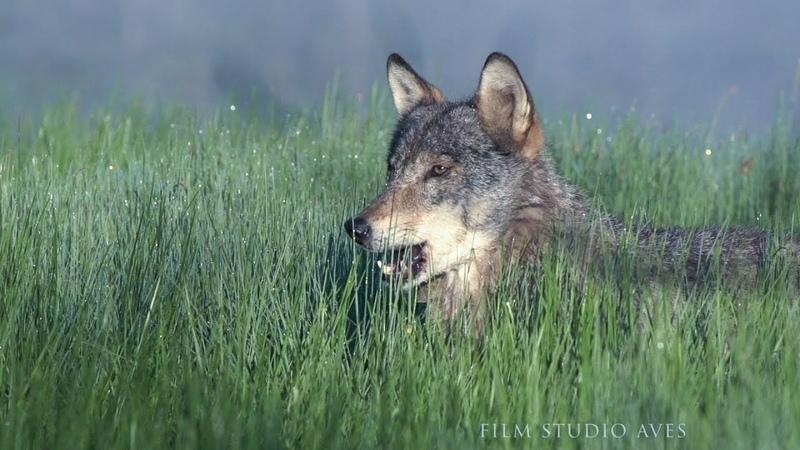 Волки в Беларуси волчье логово Film Studio Aves