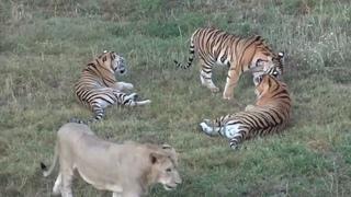 Львино  тигриный прайд.  Молодёжь. Тайган. Lions and tigers together. Taigan. Crimea