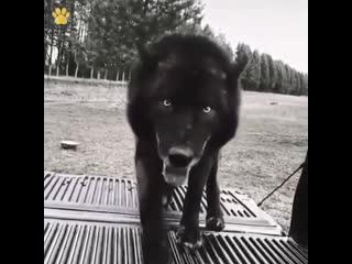 У всех собаки как собаки, а у меня волк