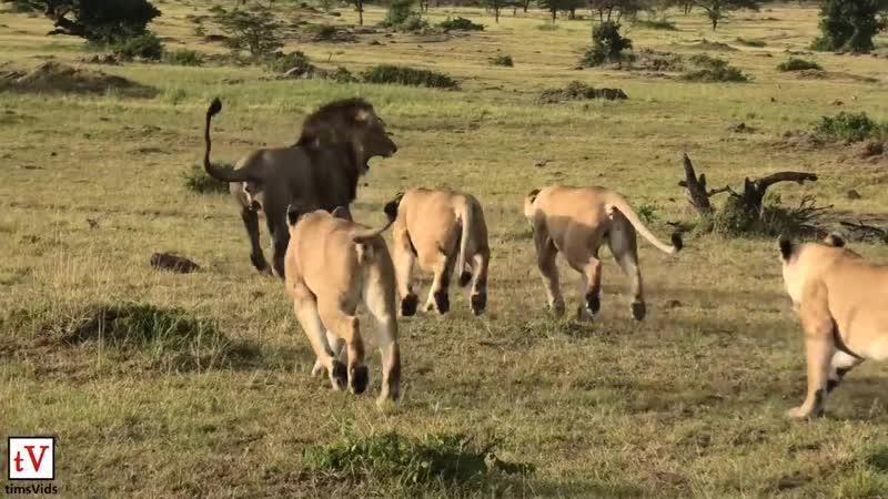 Львицы защищают детенышей от льва