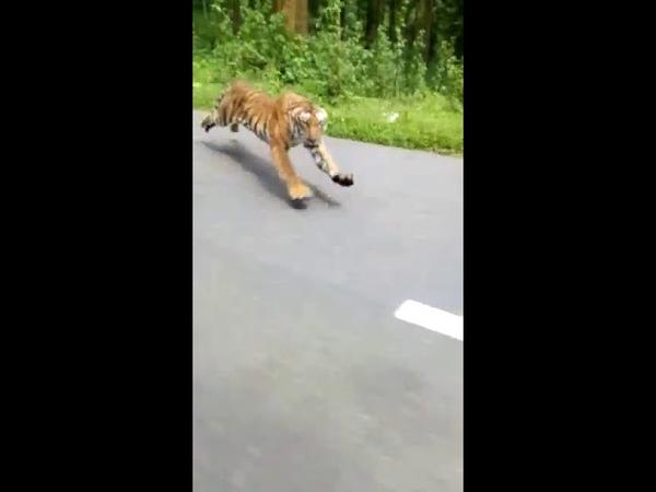 Тигр погнался за мотоциклом в Индии