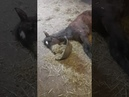 Lazy Foal Flips Dish With Fodder Trying to Eat It While Lying Down 1089552