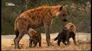 Nat Geo Wild 1080i ENG Queen Hyenas Nature Documentary