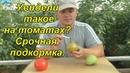 Увидели такое на плодах томатов Срочно подкормите калием