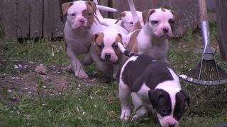 Американский бульдог.Щенки от рождения до года.\American  puppies from birth to one year