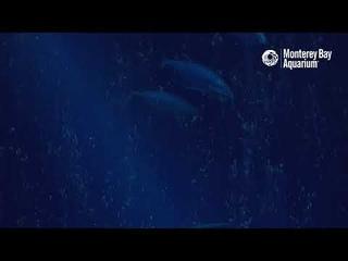 Watch some pelagic magic with the Open Sea Cam! | Monterey Bay Aquarium Live Cam