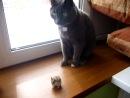 Мой хомяк дерется с котом