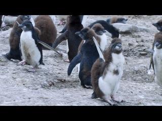 Пингвины Шпион в стае BBC Penguins Spy In The Huddle 2013 3 серия