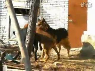 собачьи бои ротвейлер против немецкой овчарка и пидбуль за одно