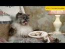 Прикольные видео с кошками Приколы 2013 Реклама молока
