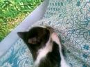 котёнок сосёт лапку перед сном)