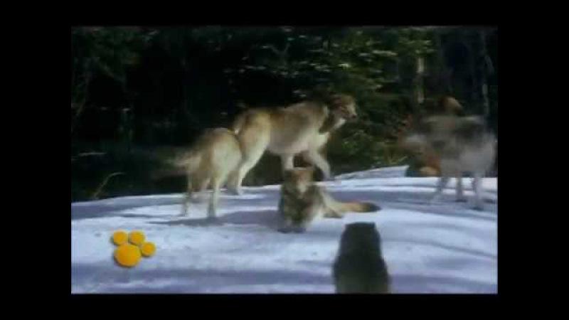Il magico mondo degli animali Leopardi e lupi [Disney]