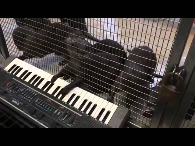 Выдры играют на синтезаторе