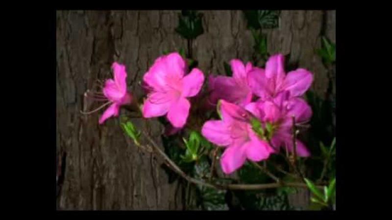 Квіти розпускаються