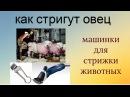 🐏🐑✂Как шерсть с ОВЦЫ СТРИГУТ вдеревне стригали стрижкаовец Рукодельницам на заметку БЕЗ ПРИКРАС