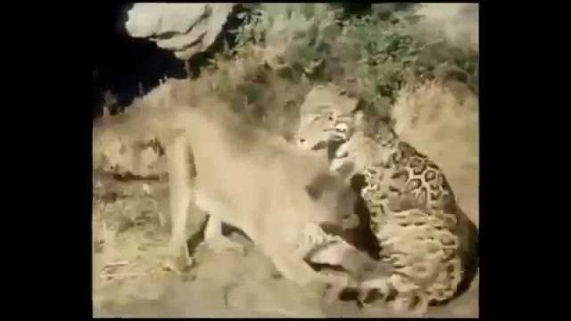 Puma vs Jaguar Ягуар против Пумы