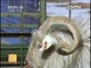 Козы кашемировые породы Ала или Ала Шань или Ала Бай Жун дословно Ала белый кашемир самое успешное животно