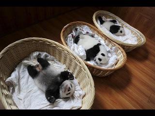 Малыши панд, спящие мирно в корзинах, покорили мир