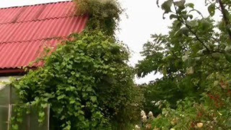 Актинидия коломикта Actinidia kolomikta плодовая лиана