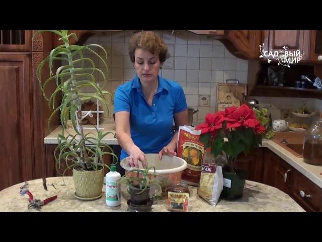 Как выращивать алоэ