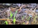 Pintail Snipe Pin-tailed Snipe Азиатский бекас Gallinago stenura
