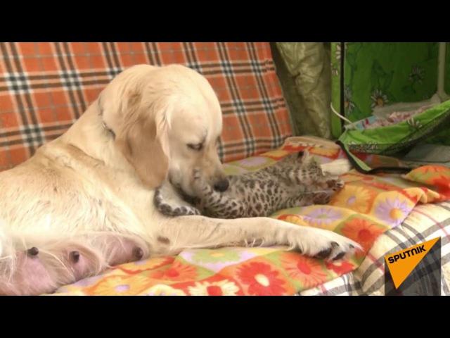 Как собака удочерила детеныша леопарда в зоопарке Владивостока