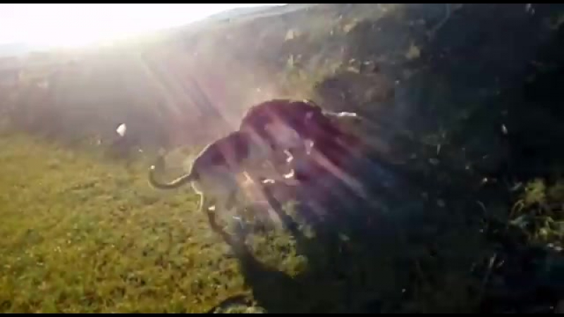 Ұлы Отан соғысы есіне түскен орыстың гончагы мен казактың тазысы немістің овчаркасын соққыға алуда