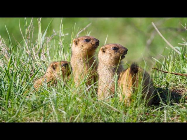 Сурки байбаки The Bobak Marmot