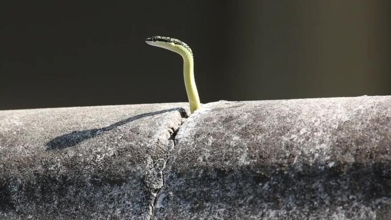 Приключения котика и Украшенной древесной змеи Chrysopelea paradisi