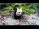 I Found this Fox Den in Algonquin Park and FILMED IT