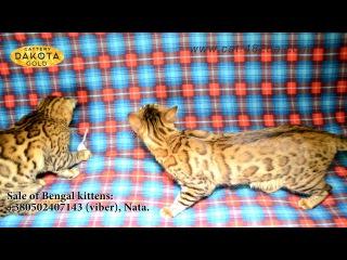 Будни питомника бенгальской кошки Dakota Gold   цветной музыкальный клип, октябрь 2017