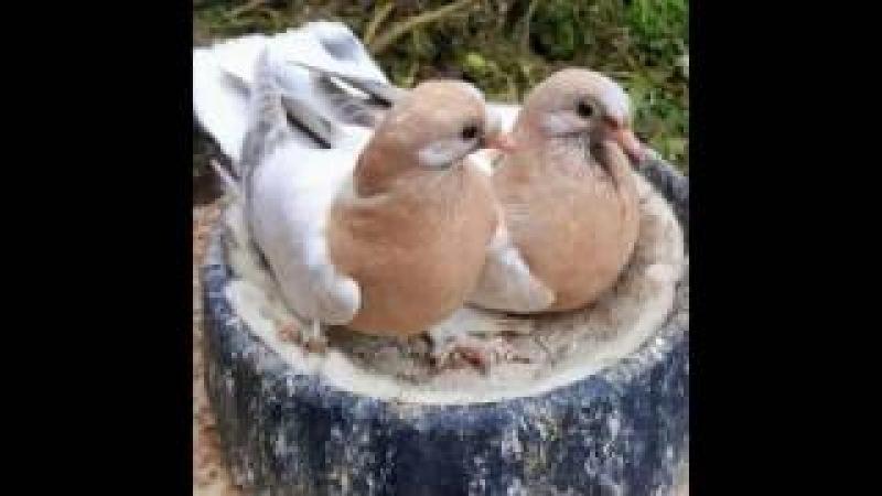 Pigeons Голуби Турецкая Такла Cаудовская Aравия eissa11
