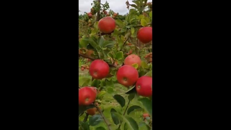 Яблоневый сад🍎
