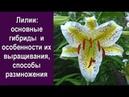 ❀ Лилии основные гибриды и особенности их выращивания способы размножения