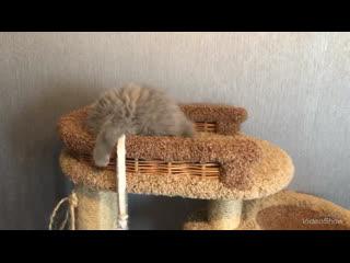 Британский котёнок madonna plush blue ray