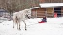Хенти впервые запряжена в санки Тренинг лошади и работа на вожжах