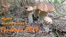 Белые переростки Подосиновики выручают Ждем новую волну грибов Грибалка Тихая охота