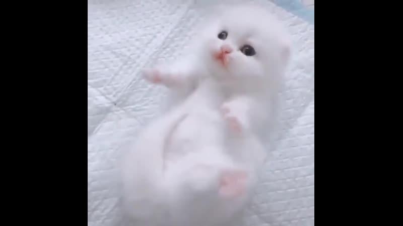 Белая лапа