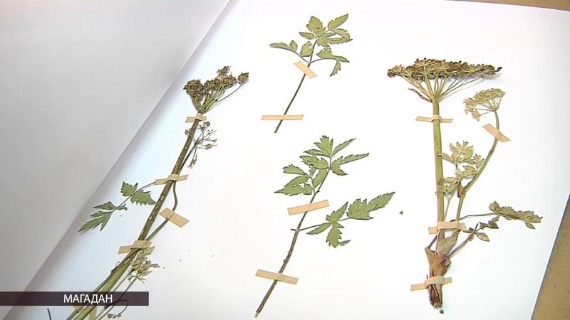 Самое редкое растение Магаданию ольскую изучают ученые на Колыме